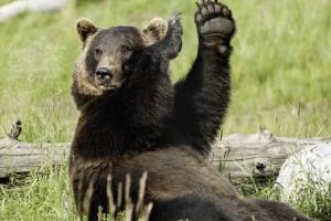 В России начались массовые убийства медведей — бедных животных истребляют тысячами ради лап
